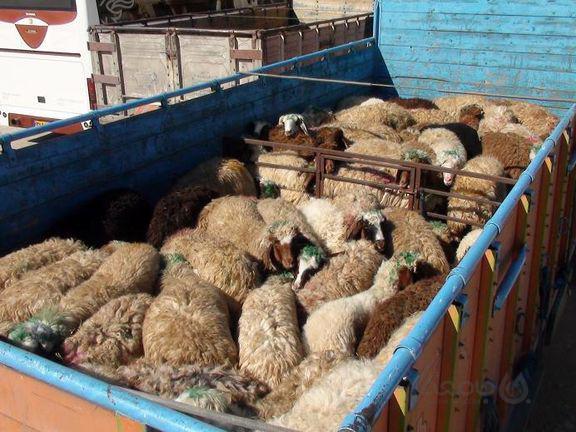 واردات هفتگی ۵۰هزار رأس گوسفند/ عرضه گسترده گوشت ۴۰هزارتومانی