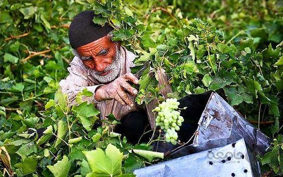 وزارت کشاورزی الگوی کشت برای کشاورزان ایرانی ندارد!
