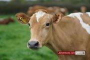 گاو ها کودکان ایرانی را بزرگ می کنند!