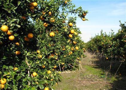 خرید مرکبات مورد نیاز شب عید آغاز شد/قیمت پرتقال ۲۰۰۰ تومان