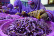 تولید زعفران جای کشت تریاک افغانستان را می گیرد