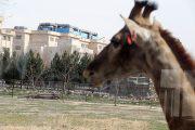 عکس  زندگی 2 زرافه در تهران!
