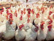 یک میلیون نفر در مرغداری ها بیکار می شوند؟!